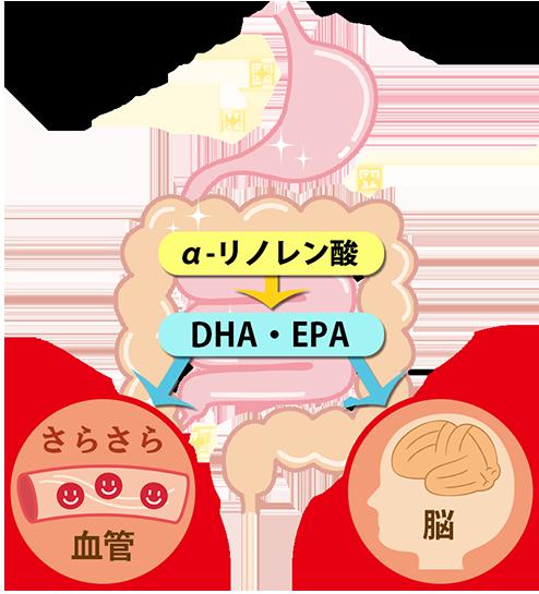 体内でDHA・EPAに変換されるα-リノレン酸